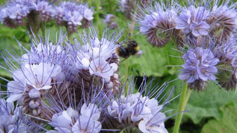 bee on wild flowers