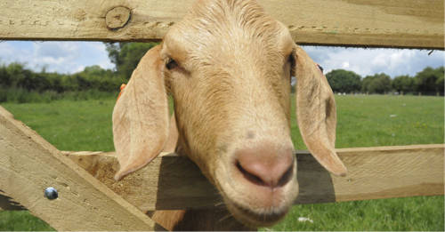 goat looking through gate