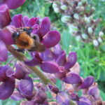 bee on lupin