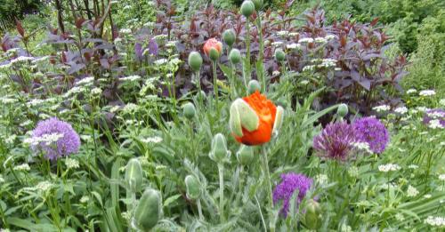 Wild flowers; Poppy with ground elder