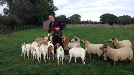 Tim feeding sheep