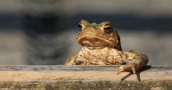 Common Toad 2 (Keith Noble)