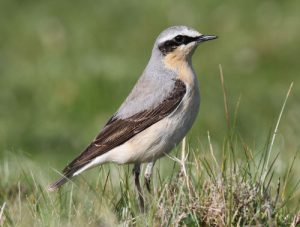Wheatear male photo by Andy Karran