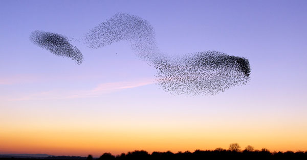 starlings over the severn